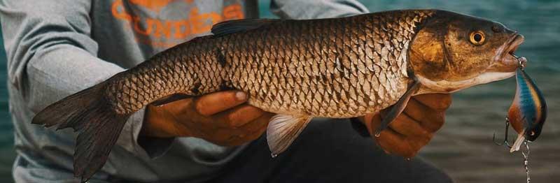poisson chevesne